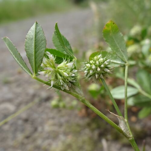 http://e-flore-puydedome.herbiers.uca.fr/files/flore/photos/photo_2356_Trifolium_retusum_(Fabaceae).jpg